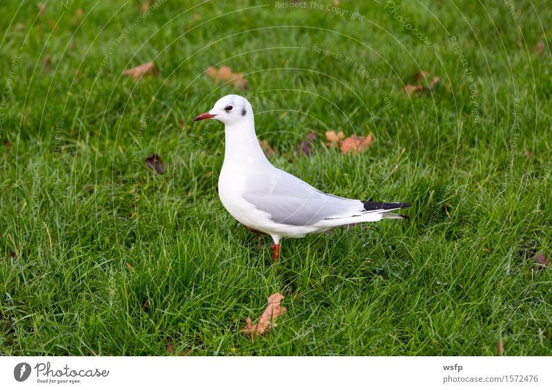 White dove on a green meadow Animal Meadow Bird Pigeon Green dove bird Seagull skua Lawn Colour photo