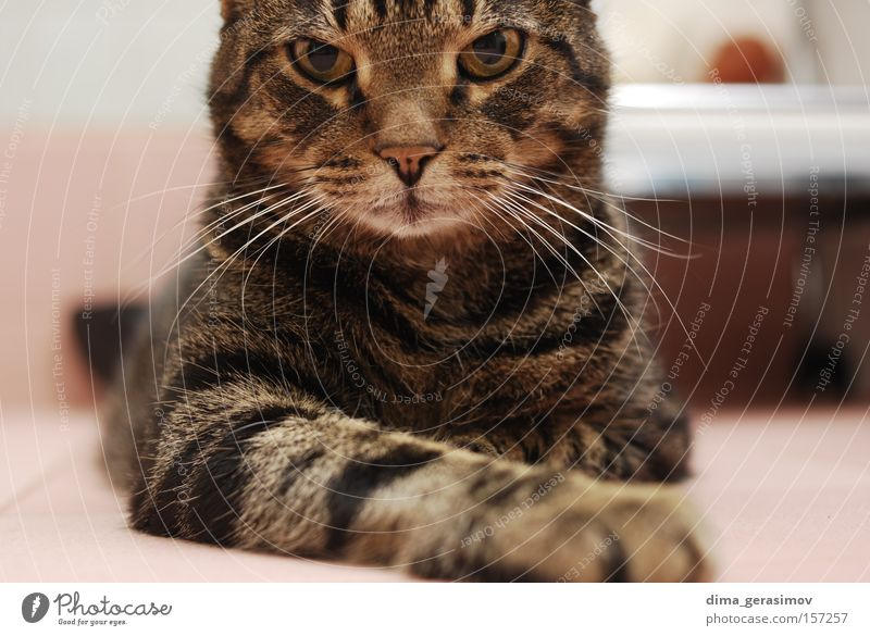 Cat 2 Animal Eyes Ear Nose Dye Bedroom Mammal Colour pose Interior shot