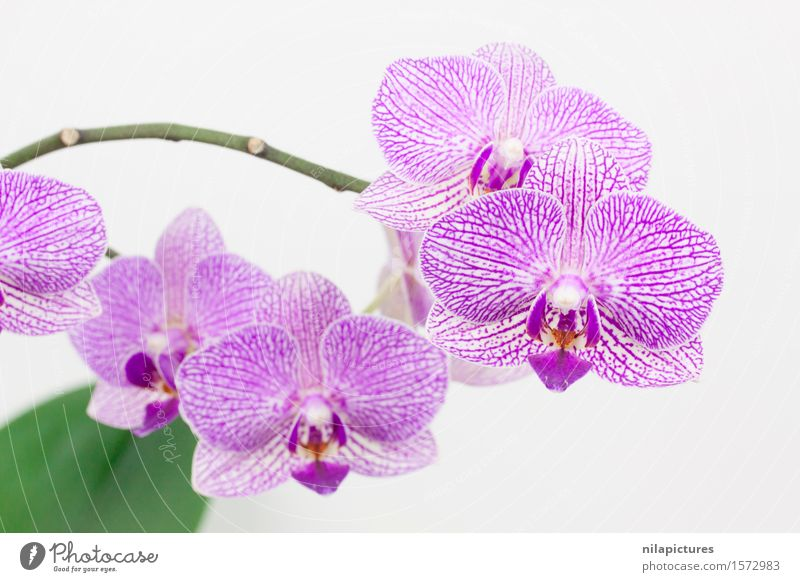 Phalaneopsis Bloeten Lifestyle Elegant Style Design Exotic Beautiful Healthy Spa Summer Decoration Feasts & Celebrations Valentine's Day Wedding Environment