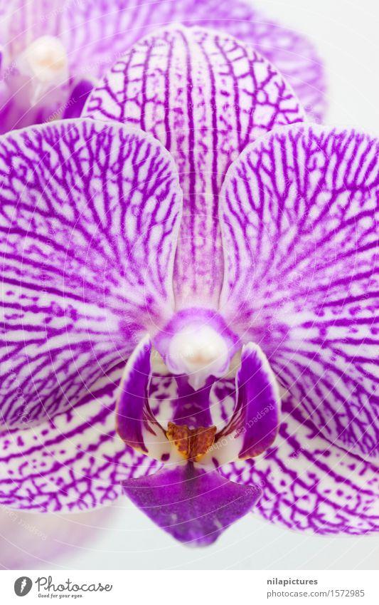Phalaenopsis Blue Macro Lifestyle Elegant Style Design Exotic Beautiful Spa Summer Decoration Feasts & Celebrations Valentine's Day Wedding Nature Plant Spring