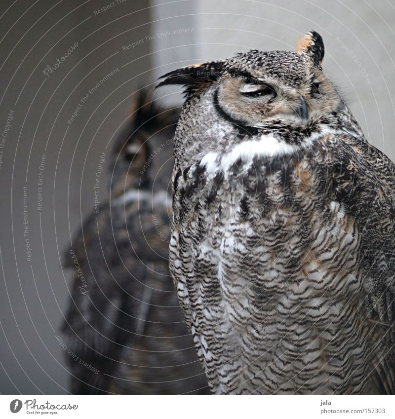 bubo Eagle owl Owl birds Bird Animal Feather Facial expression Expression Smart Gray Brown Nature Europe