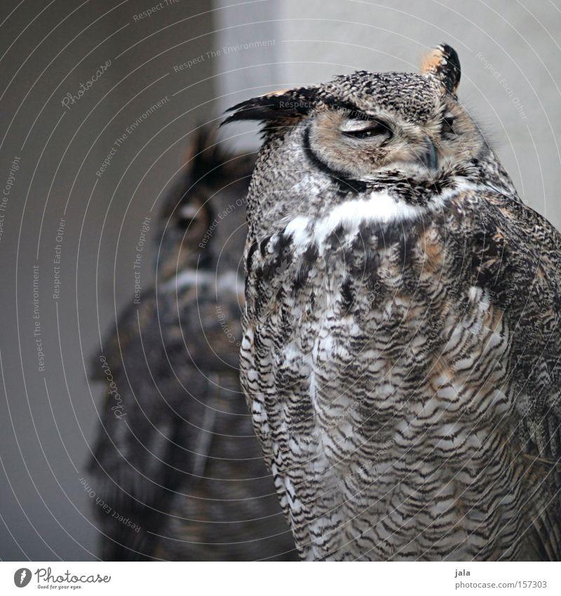 Nature Animal Gray Bird Brown Europe Feather Facial expression Smart Expression Bird of prey Owl birds Eagle owl