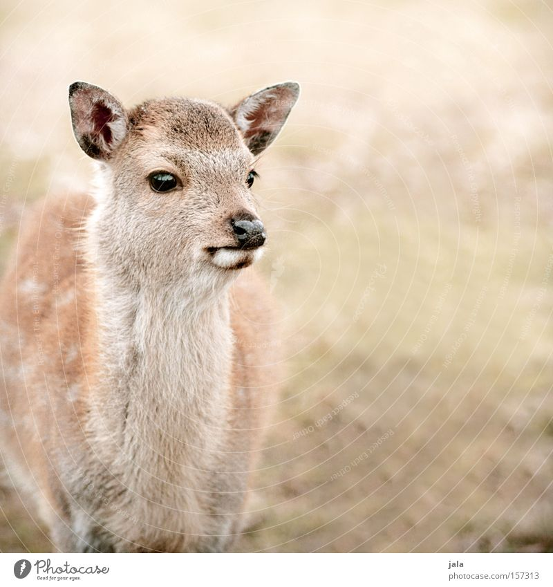 Nature Animal Wild Wild animal Mammal Timidity Caution Roe deer Deer Fawn