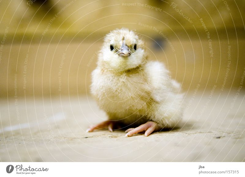 Yellow Bird Infancy Sit Fresh Stand Barn fowl Offspring Animal Chick Workbench Clumsy Newborn Parental care Bird's eggs