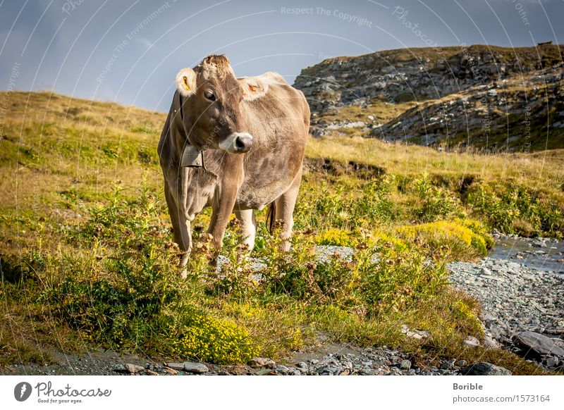 Alps cow Nutrition Organic produce Milk Trip Summer Mountain Hiking Agriculture Forestry Environment Nature Landscape Autumn Animal Farm animal Cow 1 Eating