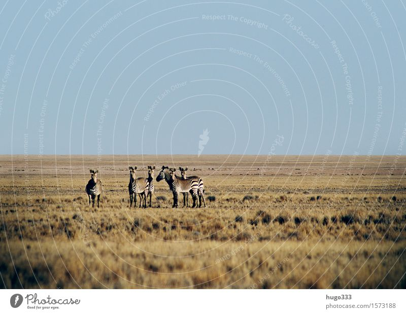 the Observers Exotic Animal Wild animal Zebra 4 Group of animals Herd Animal family Looking Desert Africa Plain Panorama (View) Safari Colour photo