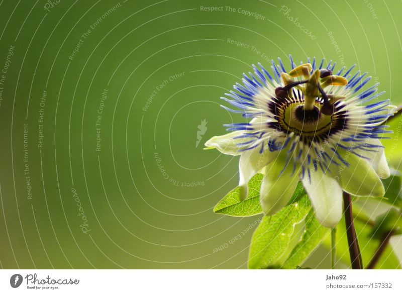 Beautiful Flower Green Plant Summer Calm Meadow Blossom Grass Happy Violet Exceptional Passion Bud Passion flower