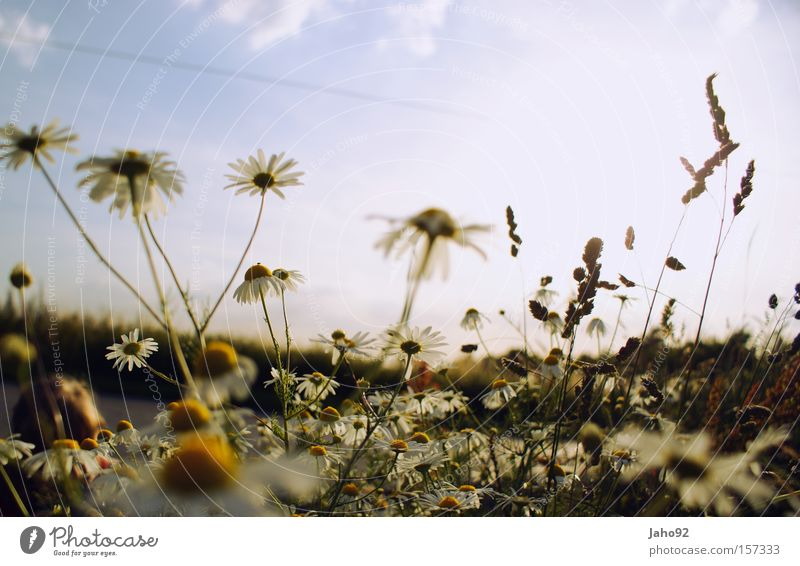 Camomile in summer Chamomile Flower Bud Happy Summer Spring Joy Crazy Distress Provoke Mix-up Rooted Ornate Inverted Sky Plant Medicinal plant Weed Irritation