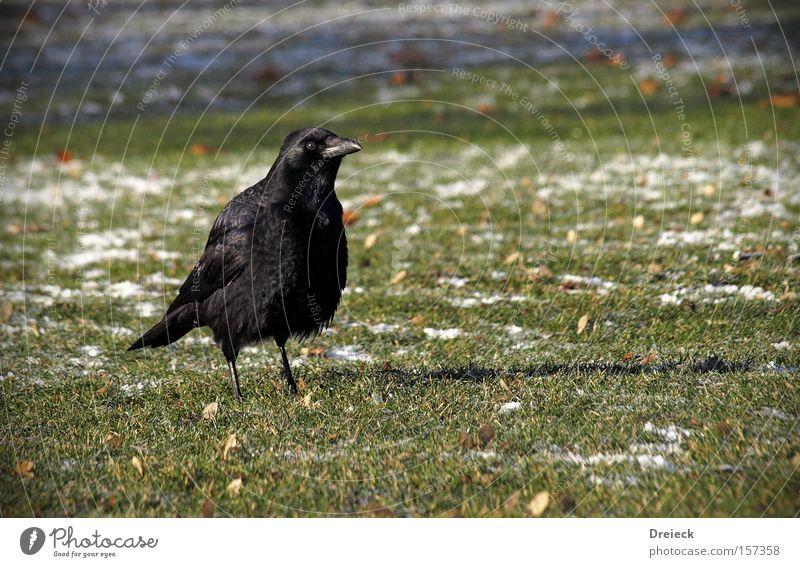 Nature Black Animal Dark Meadow Grass Garden Park Bird Germany Looking Lawn Beak Raven birds Crow Plumed