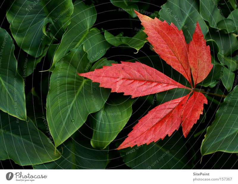 Green Red Leaf Autumn Park Vine Calla Vine leaf