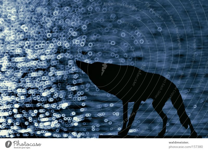 Evil Wolf Dog Water Loneliness Longing Animal Fairy tale Blue Mammal Blur Catadioptric system (effect) Silhouette Isolated Image Copy Space top Copy Space left