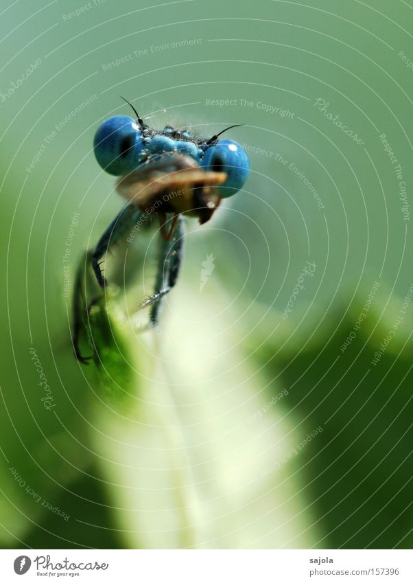 Blue Leaf Eyes Nutrition Animal Head Insect To feed Dragonfly Prey Portrait format Compound eye Small dragonfly