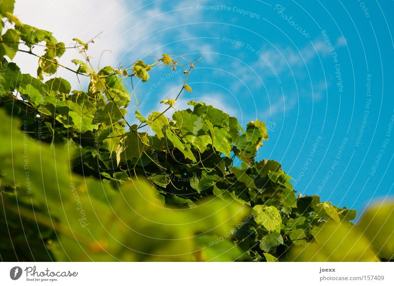 Sky Nature Blue Green Plant Bushes Vine Climbing Tendril Vine leaf