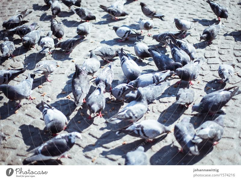 busy Animal Pigeon Wing Group of animals Flock Flying To feed Feeding Hideous Gray Voracious Esthetic Belief Religion and faith Town Attachment Dovecote