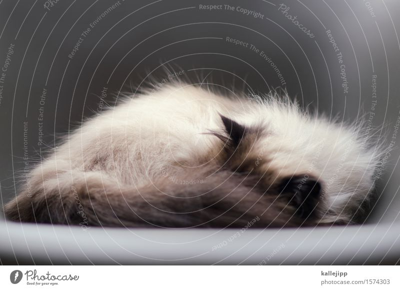 Cat Relaxation Calm Animal Gray Sleep Chair Ear Pelt Fatigue Pet Cozy Domestic cat Comfortable Indifferent Pit