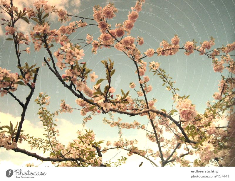 Sky Tree Blue Clouds Blossom Spring Pink Fresh Pallid Anticipation Pastel tone