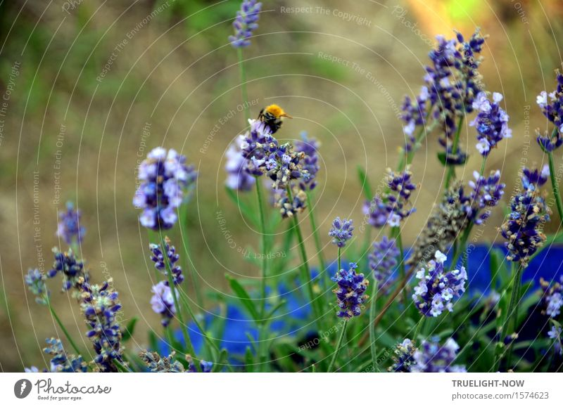 again soon Nature Plant Summer Beautiful weather Flower Leaf Blossom Lavender Garden Farm animal Wild animal Bumble bee 1 Animal Touch Blossoming Fragrance