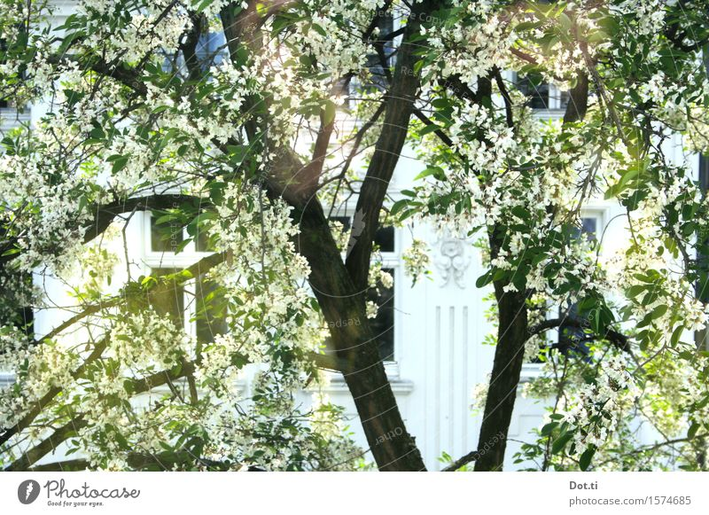 Bloom Plant Sunlight Spring Beautiful weather Tree Blossom Town House (Residential Structure) Facade Window Blossoming Bright Spring fever View from a window