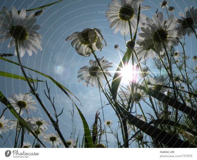 Daisy Forest Flower Plant Nature Macro (Extreme close-up) Sun Spring Sky Blossom Lawn Grass Close-up