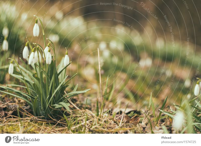 Snowdrops Nature Plant Green White Flower Forest Spring Background picture Garden Fragrance