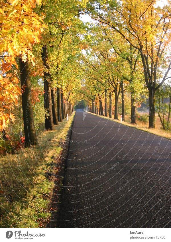 Golden Autumn Avenue Tree Leaf Romance