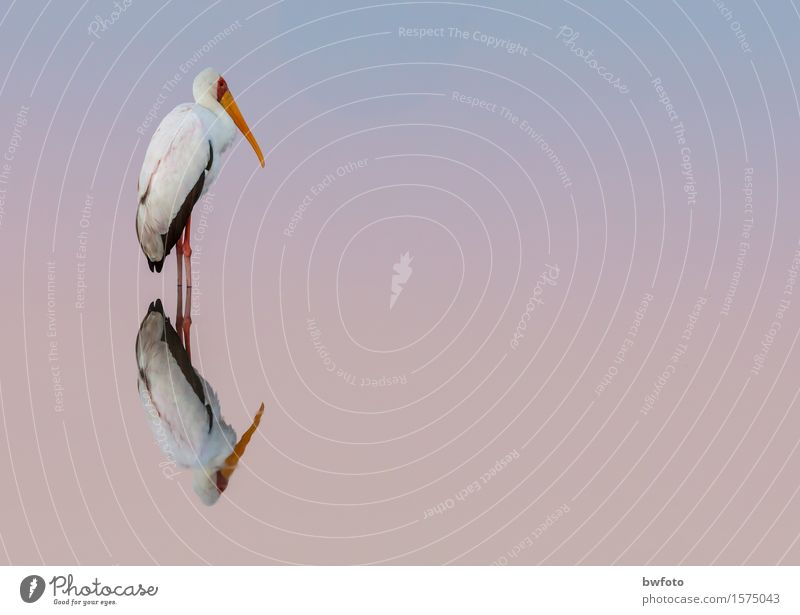 Stork is never satisfied Environment Nature Plant Air Water Sunrise Sunset Warmth Lakeside Wild animal Bird 1 Animal Think Relaxation To enjoy Sleep Esthetic