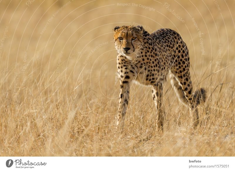 Cheetah Cheetah Vacation & Travel Tourism Adventure Safari Environment Nature Plant Beautiful weather Meadow Animal Wild animal Pelt 1 Observe Esthetic Athletic