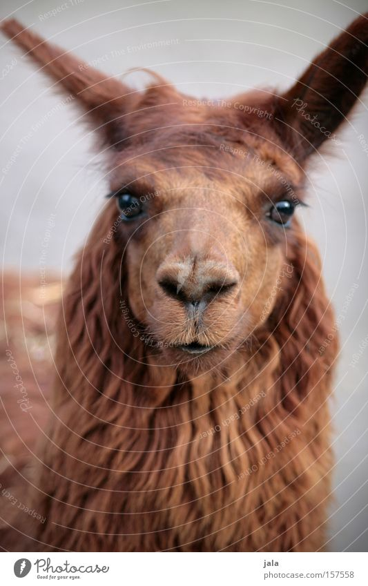 Lady Lama Glama Llama Camel Brown Animal Head Looking Eyes Pelt Beautiful Zoo Mammal Animal face Animal portrait Looking into the camera Forward Petting zoo