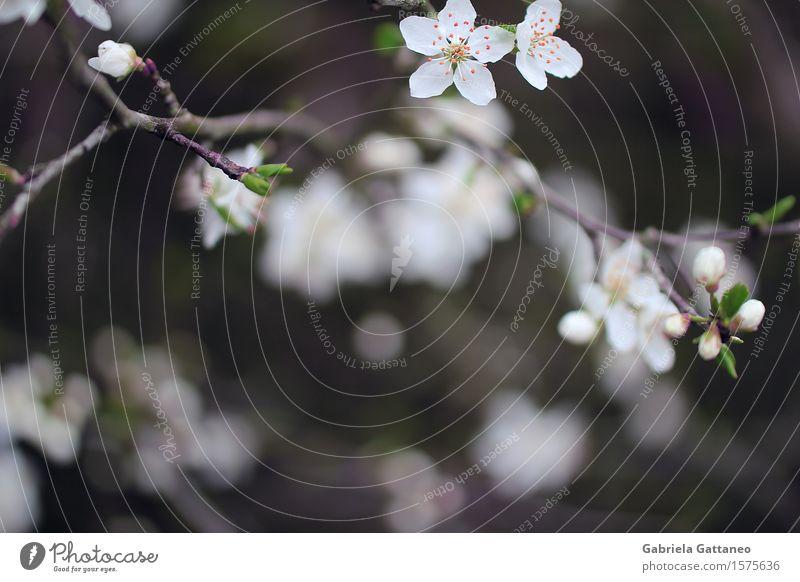 Nature Plant Beautiful White Blossom Spring Elegant Beginning Blossoming Twig Plantlet Fruit trees Yellow plum