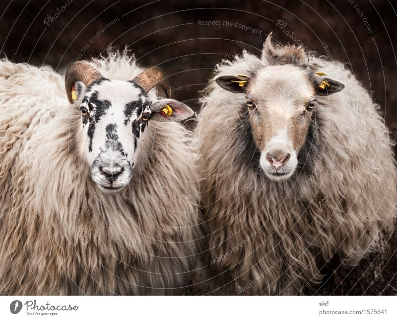 Sheep Duo Spring Heathland Luneburg Heath Animal Farm animal Animal face 2 Pair of animals Relaxation Authentic Together Uniqueness Natural Curiosity Original