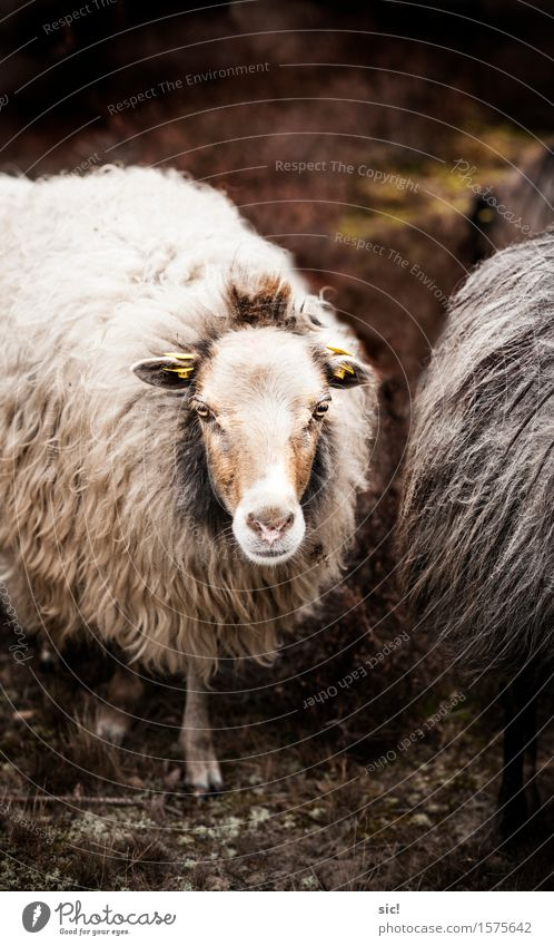 City White Calm Animal Environment Sadness Spring Natural Brown Contentment Authentic Soft Mysterious Pelt Animal face Sheep