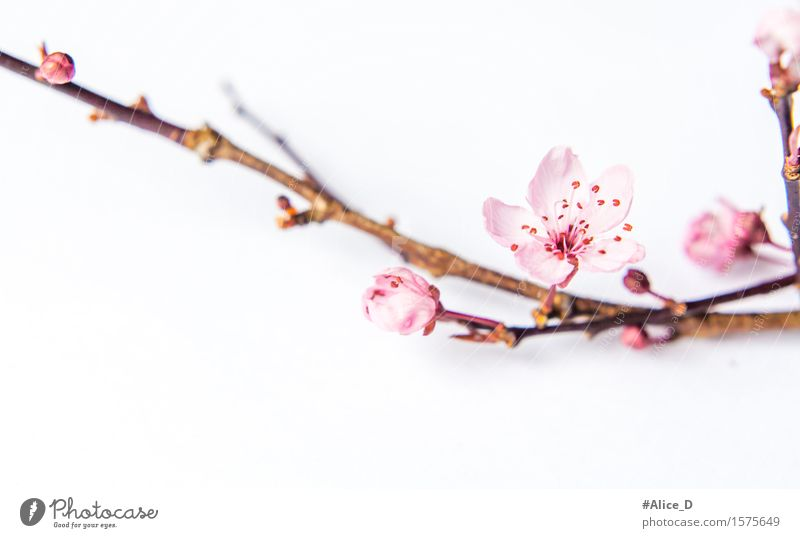 Spring branch pink Nature Plant Flower Blossom Sign Natural Pink White Macro (Extreme close-up) Abstract Isolated Image Neutral Background High-key Blur