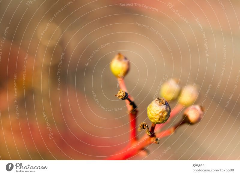 Winter Boehmels Nature Plant Beautiful weather Bushes Brown Yellow Red greenish Bud Branch Withered Blur Smear Round Small Upward Progress Colour photo