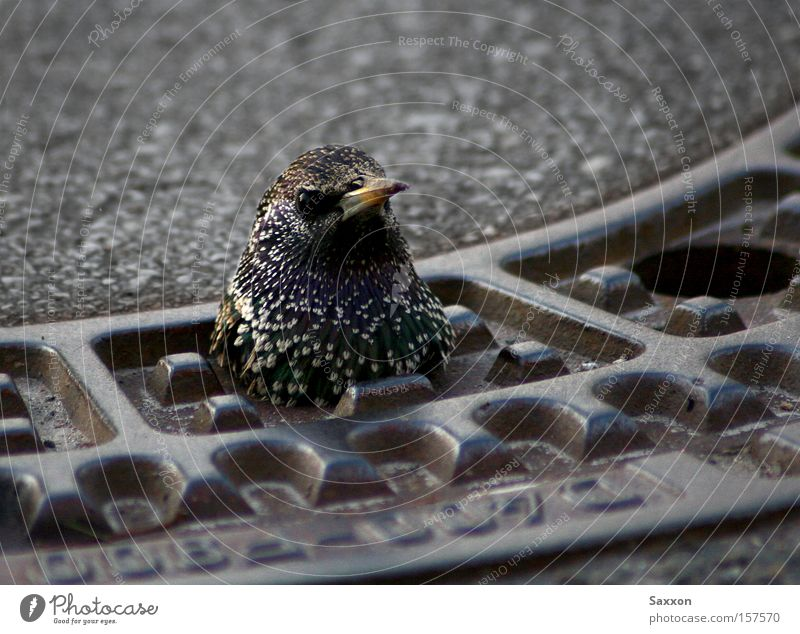 Street Bird Dangerous Threat Drainage Curiosity Traffic infrastructure Rent Gully Hiding place Starling Kick District Jinx
