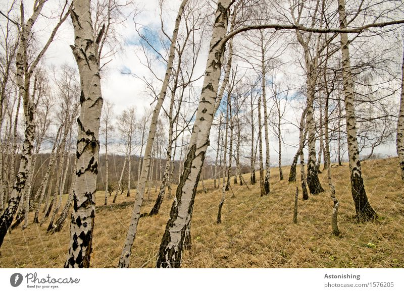 birch grove Environment Nature Landscape Plant Air Sky Clouds Horizon Spring Weather Tree Grass Garden Park Meadow Forest Hill Stand Old Tall Blue Black White