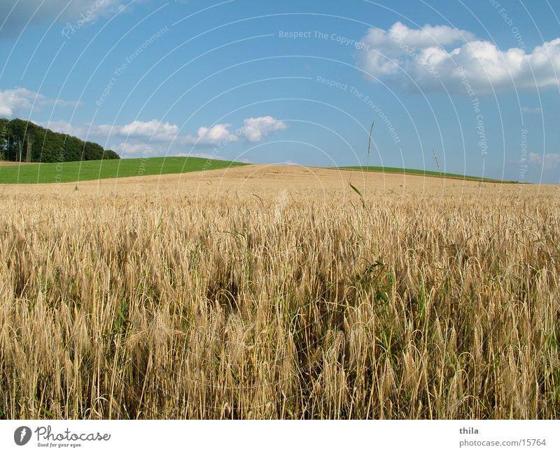 Green Summer Mountain Field Harvest Wheat Ear of corn