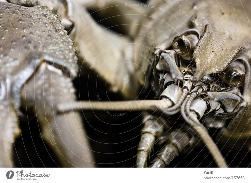 snap Claw Feeler Armor-plated Shell Hard Prongs Set of teeth Chitin Contrast Black Animal Macro (Extreme close-up) Near Detail Crawfish Close-up