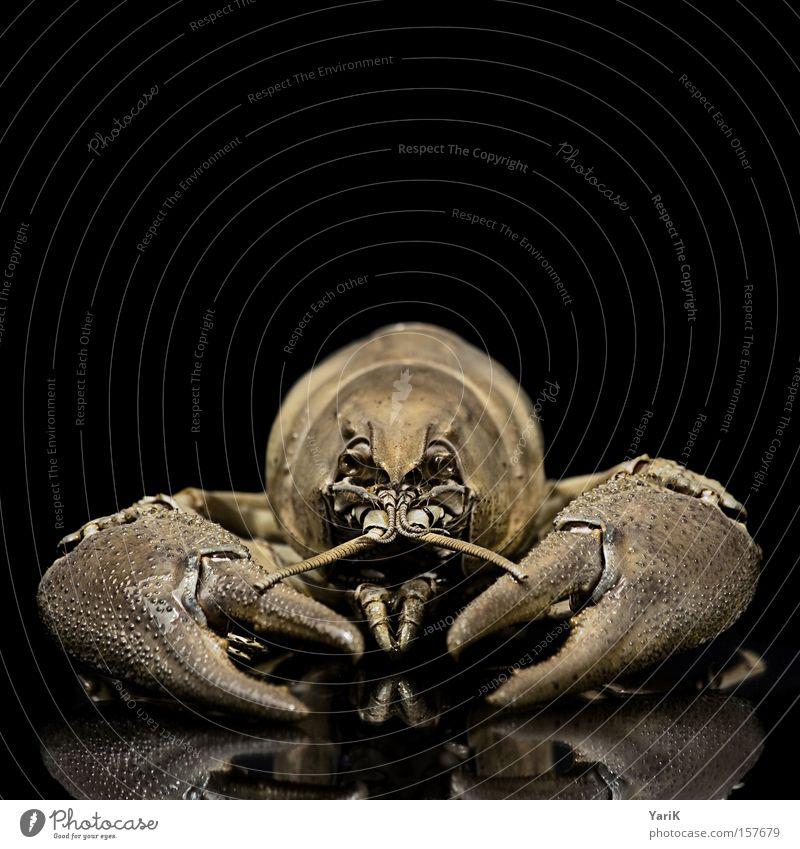 Black Animal Set of teeth Near Biology Shellfish Feeler Hard Claw Prongs Armor-plated Chitin Crawfish