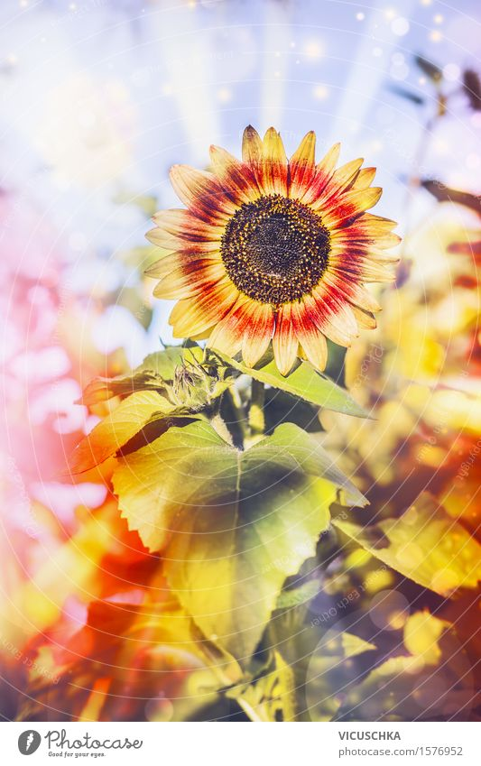 Pretty sunflower in the garden Lifestyle Design Summer Garden Nature Plant Autumn Bushes Leaf Blossom Park Field Blossoming Yellow pretty Pollen Flower