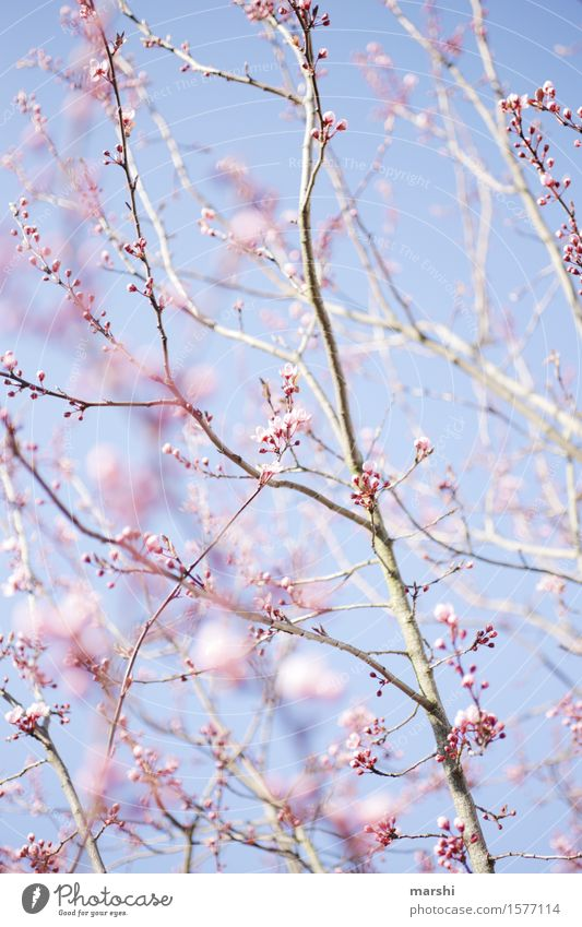 A little spring Nature Landscape Plant Sun Spring Summer Tree Moody Branch Blossoming blood plum Garden Pink Blue Blue sky Spring fever Colour photo