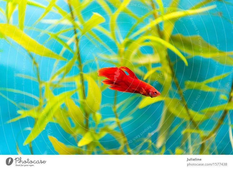 Aquarium cockerel fish in blue water Ocean Sweet Turquoise Rooster parrot salt scalare apogon lionfish Goldfish Colour photo