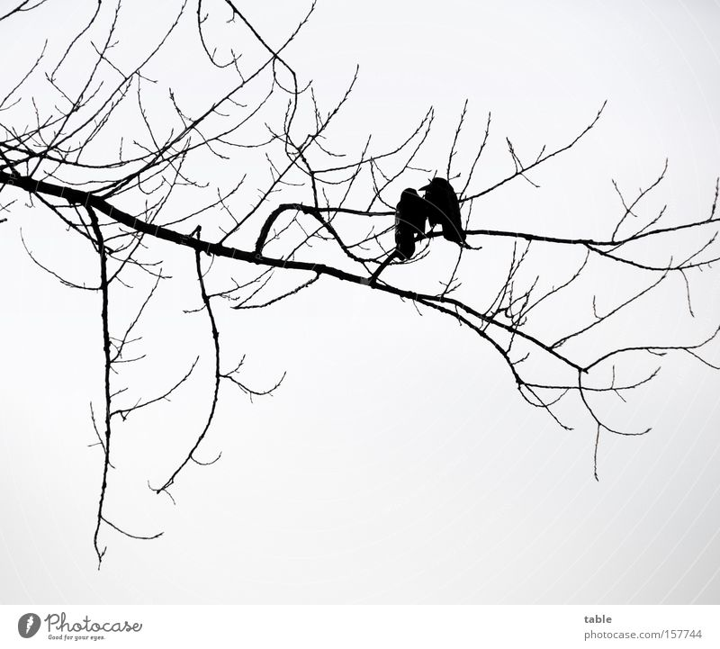 Tree Winter Love Black Cold To talk Gray Bird In pairs Branch Twig Raven birds