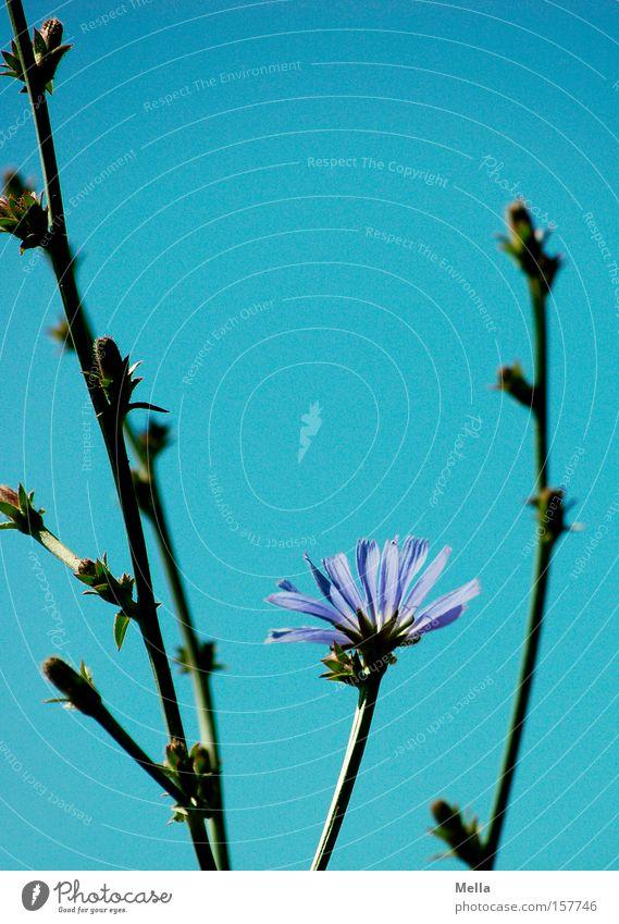Sky Flower Blue Summer Lamp Blossom Stalk Blossoming Cichory