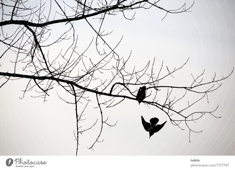 Beautiful Winter Black Cold Gray Bird Aviation Beginning Wing Branch Twig Departure Raven birds