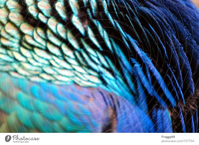 blue Bird Peacock Blue Feather Wing Neck Head Soft Summer India Delicate
