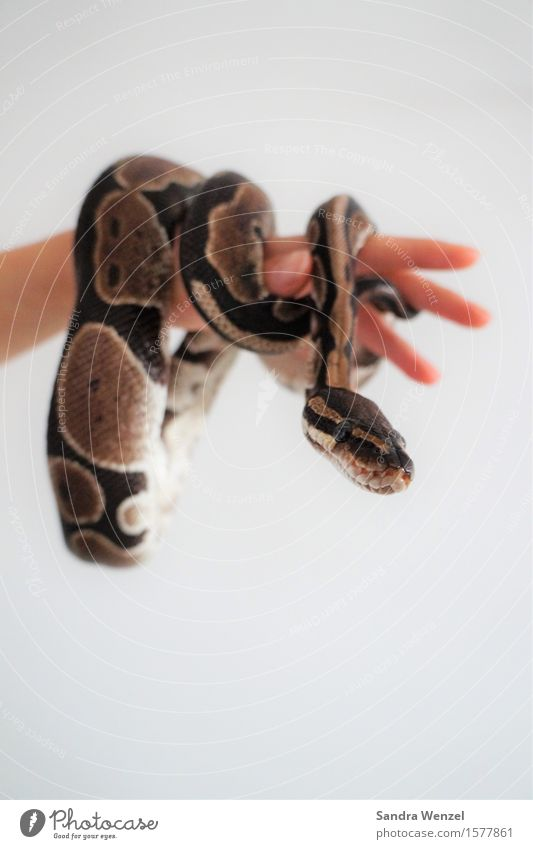 king python Environment Nature Forest Virgin forest Animal Snake 1 Feeding Hang Hunting Exceptional Curiosity Cute phyton Wiggly line Reptiles Colour photo