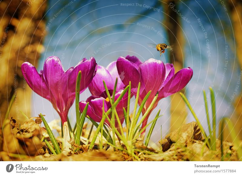 Crocus with bee Plant Spring Flower Blossom Garden Park Fragrance Violet Pink Bee Iridaceae vintage flowers Close-up Orange Colour photo Exterior shot Day