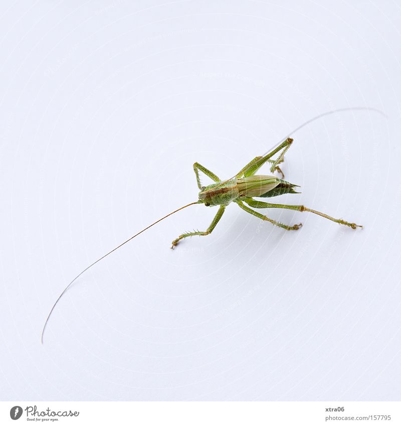 Green Insect Living thing Feeler Salto Locust House cricket