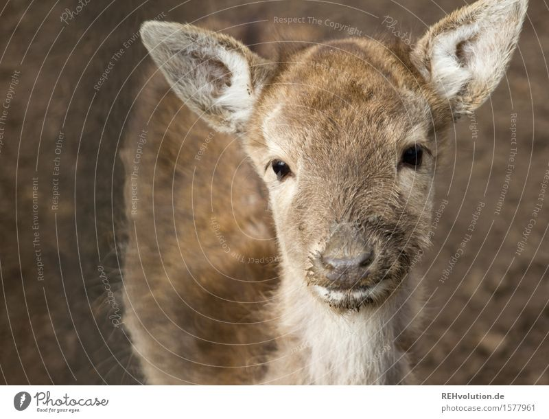 reh Environment Nature Animal Observe Brown Baby animal Wild animal Zoo Fawn Roe deer Colour photo Subdued colour Exterior shot Deserted Neutral Background Day