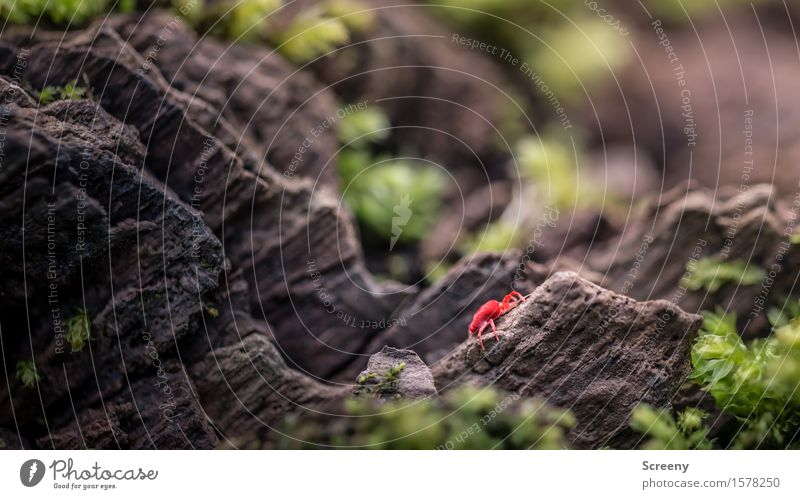 extreme climber Nature Plant Animal Spring Moss Forest Bug 1 Crawl Small Brown Green Red velvet bug Insect Woodground Colour photo Exterior shot